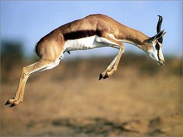 Gazelle die opspringt
